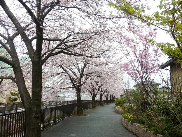 写真: 1p用水端桜満開