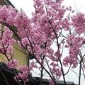 写真: 1q用水端桜満開