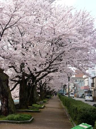 16、寺町〜犀川の桜