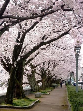 17、寺町〜犀川の桜