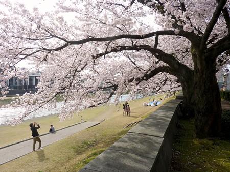 18、寺町〜犀川の桜