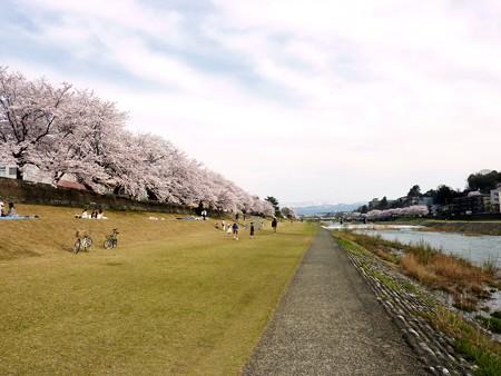 20、寺町〜犀川の桜