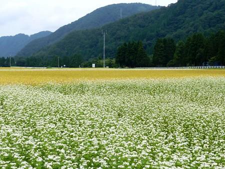 6-蕎麦の花