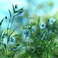 写真: 亜麻の花