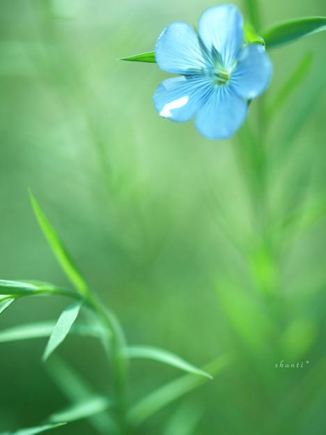 写真: 亜麻の花・2