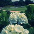 写真: GR2 紫陽花