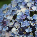 写真: 紫陽花