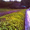 写真: 茶畑