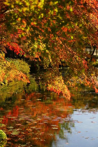 モネの池秋3