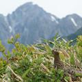 写真: [2017年7月15日]雷鳥と剣岳(奥大日岳より)