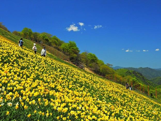 黄色い水仙と蒼い空