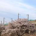 桜とE5系