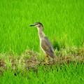 写真: ゴイサギ若鳥から成鳥へ