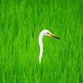 写真: 田圃の緑に白い鳥