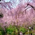 圧巻の枝垂れ桜に感激 (@_@)