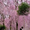 枝垂れ桜のシャワーを浴びる