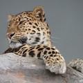 写真: 豹頭の仮面