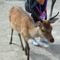 写真: 宮島の鹿