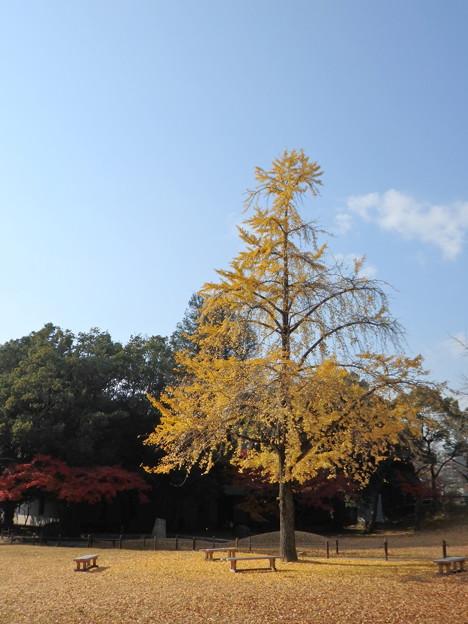 銀杏の公園