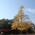 写真: 銀杏の公園