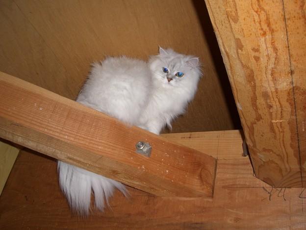鳥のように止まり木に止まる白猫のユキポン