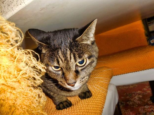 食卓にひそむ猫のマリモちゃん