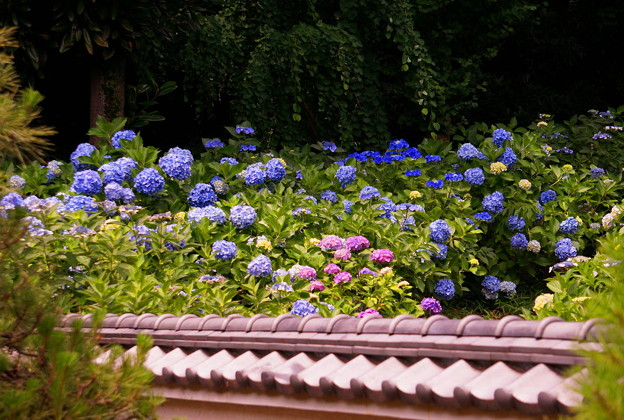rs-170622_04_紫陽花・SL(妙楽寺) (82)