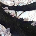 写真: 府中の森公園☆桜♪