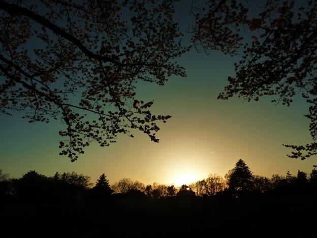 写真: 府中の森公園☆夜桜と夕陽