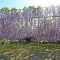 写真: 大藤@あしかがフラワーパーク