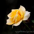 Rose-3493