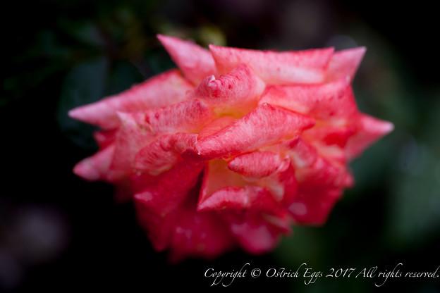 Photos: Rose-3497