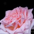 Photos: Rose-3507