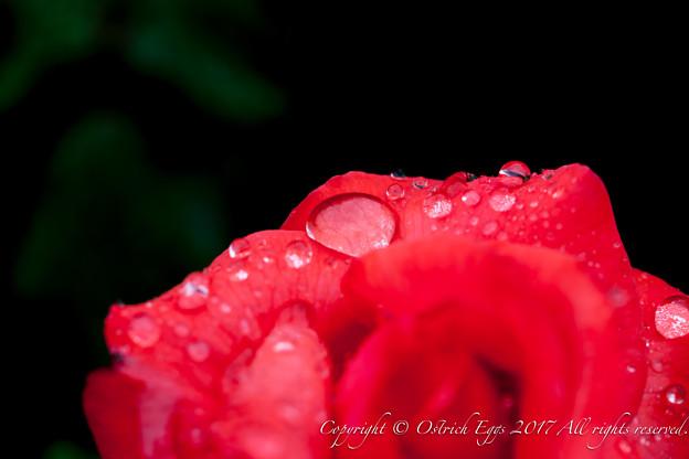 Photos: Rose-3525