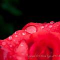 Rose-3525