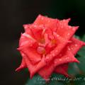 Rose-3526