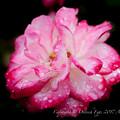 Rose-3533