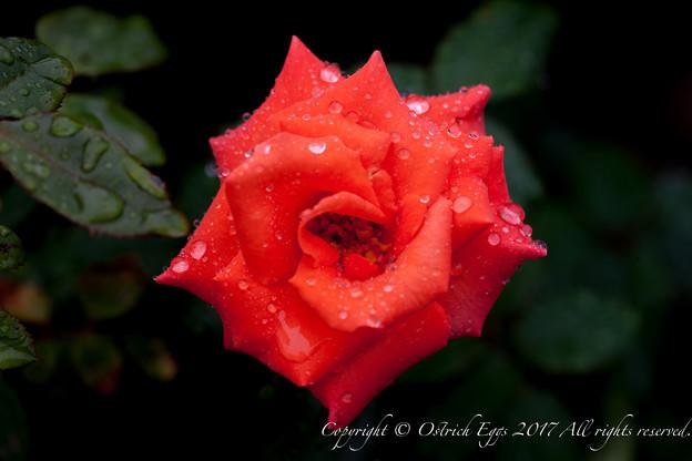 Photos: Rose-3539