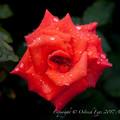 Rose-3539