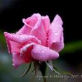 Rose-3542
