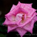 Photos: Rose-3543