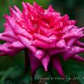 Photos: Rose-3547