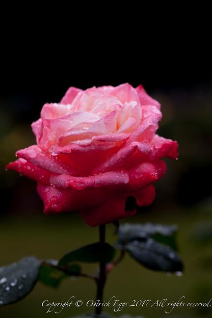 Photos: Rose-3550