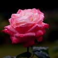 Rose-3550