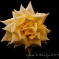 Photos: Rose-3560