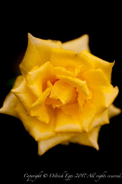Photos: Rose-3583