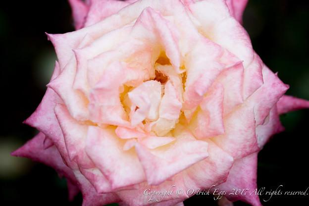 Photos: Rose-3590