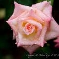 Photos: Rose-3591