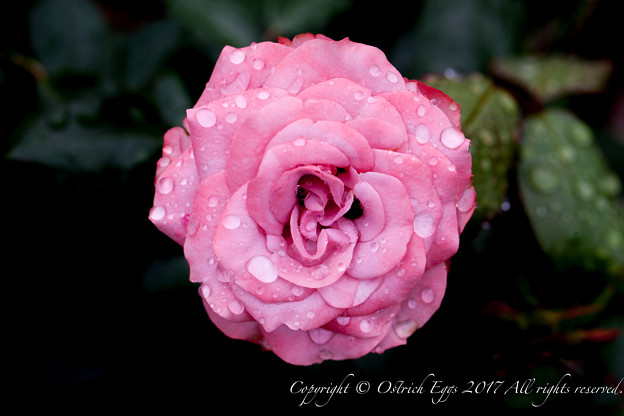 Photos: Rose-3595