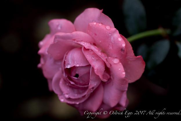Photos: Rose-3598